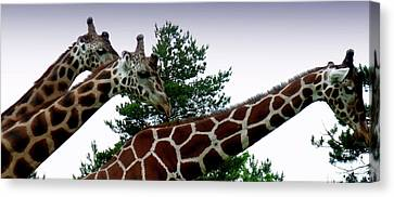 Canvas Print featuring the photograph Giraffe by Jeremy Martinson