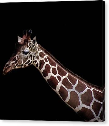 Giraffe Abstract Canvas Print - Giraffe by Martin Newman