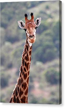 Giraffe Portrait In African Savannah Canvas Print