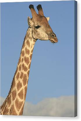 Giraffe Portrait Canvas Print