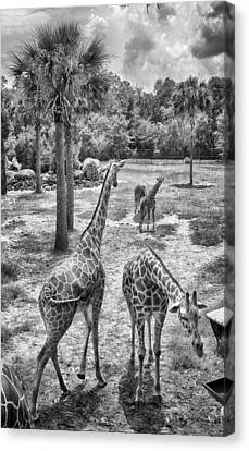 Canvas Print featuring the photograph Giraffe Reticulated by Howard Salmon
