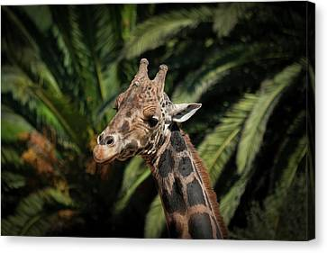 Canvas Print featuring the photograph Giraffe  by Roger Mullenhour
