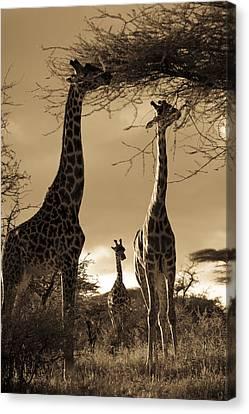 Giraffe Stretch Their Necks To Reach Canvas Print by Ralph Lee Hopkins