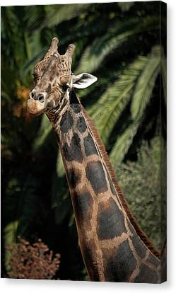 Canvas Print featuring the photograph Giraffe Study 2 by Roger Mullenhour