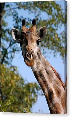 Giraffe  Canvas Print by Tess Haun