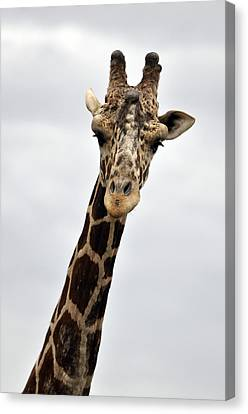 Giraffe  The Full Front View Canvas Print by Laura Mountainspring
