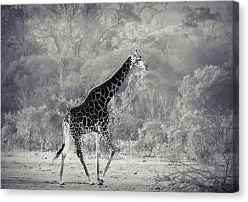 Giraffe Walk Canvas Print by Jan Van der Westhuizen