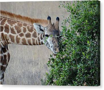 Exploramum Canvas Print - Giraffes Eating - Front View by Exploramum Exploramum
