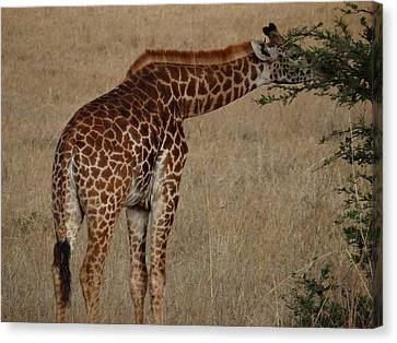 Giraffes Eating - Side View Canvas Print