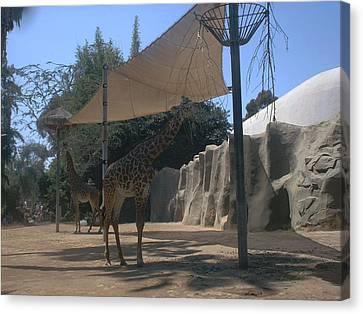 Giraffes Canvas Print by Guillermo Mason