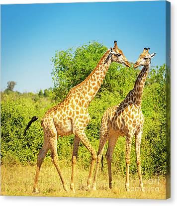 Giraffes In Africa Canvas Print by Tim Hester