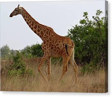 Exploramum Canvas Print - Giraffes On A Walk by Exploramum Exploramum