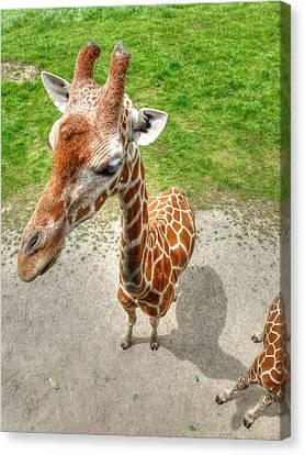 Giraffe's Point Of View Canvas Print by Michael Garyet