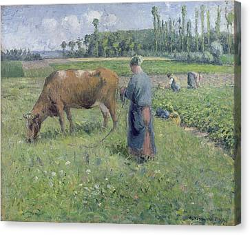 Girl Tending A Cow In Pasture Canvas Print