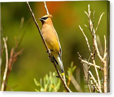Glacier Cedar Waxwing Canvas Print by Adam Jewell
