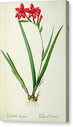Leaves Canvas Print - Gladiolus Cardinalis by Pierre Joseph Redoute