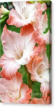 Gladiolus Ruffles  Canvas Print by Rachel Hannah