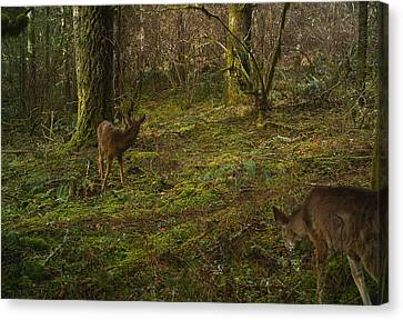 Glancing Back Canvas Print by Steve Battle