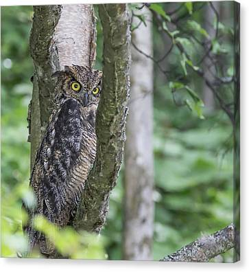 Glaring Great Horned Owl Canvas Print by Sam Amato