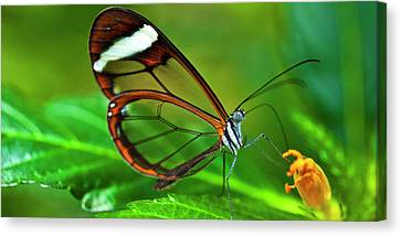 Canvas Print featuring the photograph Glasswinged Butterfly by Ralph A Ledergerber