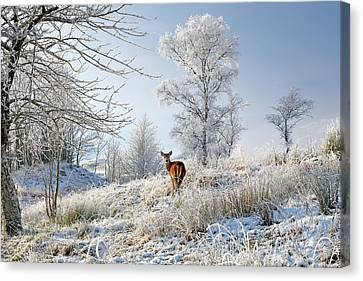 Canvas Print featuring the photograph Glen Shiel Misty Winter Deer by Grant Glendinning