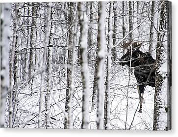 Glimpse Of Bull Moose Canvas Print