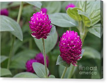 Globe Amaranth Canvas Print by Charles Kozierok