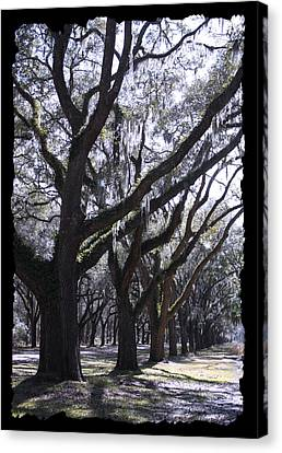 Glorious Live Oaks With Framing Canvas Print by Carol Groenen