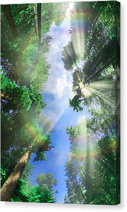 Glory Amongst Redwoods Canvas Print