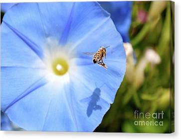 Glory Bee Canvas Print by Ken Williams
