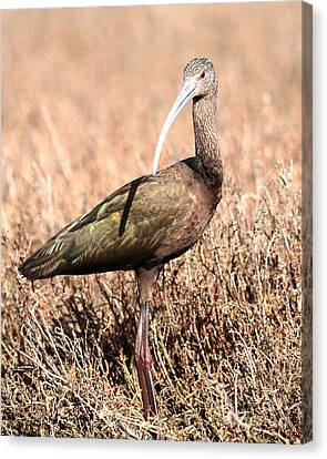 Glossy Ibis . 7d5054 Canvas Print by Wingsdomain Art and Photography