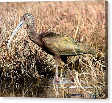 Bif Canvas Print - Glossy Ibis . 7d5060 by Wingsdomain Art and Photography