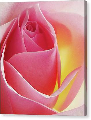 Glowing Pink Rose Canvas Print