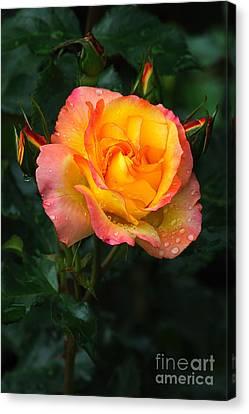 Glowing Rose Canvas Print by Edward Sobuta