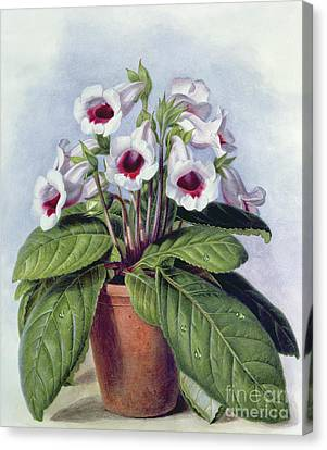 Indoor Still Life Canvas Print - Gloxinia In A Pot by Augusta Innes Withers