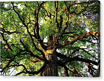 Gnarly Oak Canvas Print by Debbie Oppermann