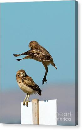 Roost Canvas Print - Go Away by Mike Dawson