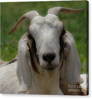 Goat 1 Canvas Print