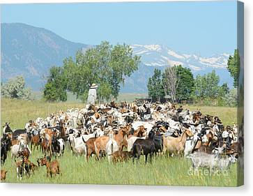 Goat Herd In Field Below Mountains Canvas Print