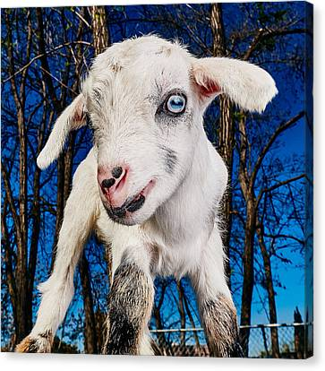 Goat High Fashion Runway Canvas Print by TC Morgan