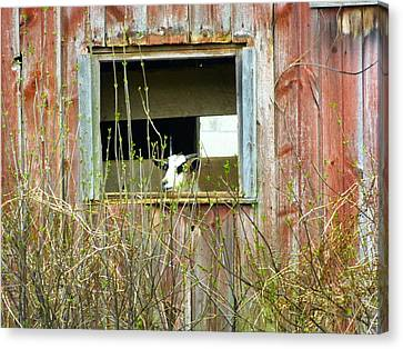 Goat In The Window Canvas Print by Donald C Morgan