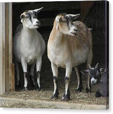 Goat Trio Canvas Print by Jeanette Oberholtzer