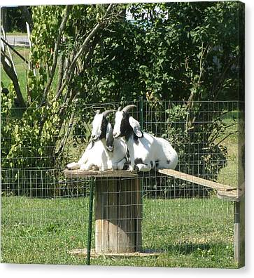 Canvas Print featuring the photograph Goats Dreaming Of Trouble by Jeanette Oberholtzer