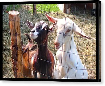 Canvas Print featuring the photograph Goats by Felipe Adan Lerma