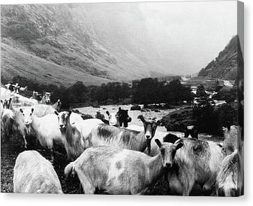 Goats In Norway- By Linda Woods Canvas Print