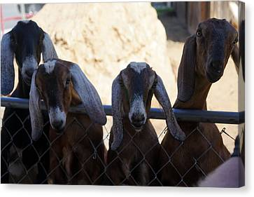 Goats On The Roof Canvas Print by Laurie Perry