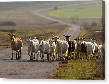 Goats Walking Home Canvas Print