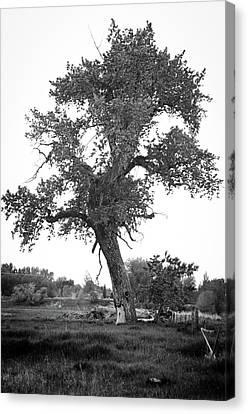 Goddess Tree 2 Canvas Print by Matthew Angelo