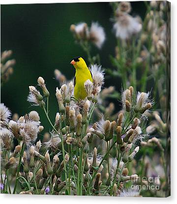 Gold Finches-12 Canvas Print by Robert Pearson