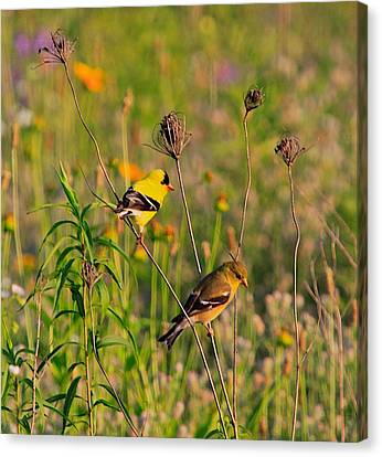 Gold Finches Canvas Print by Robert Pearson